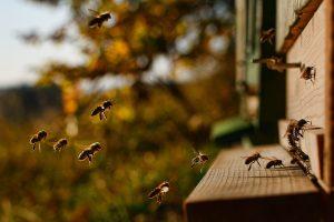 Bienen am Flugloch in der Abendsonne