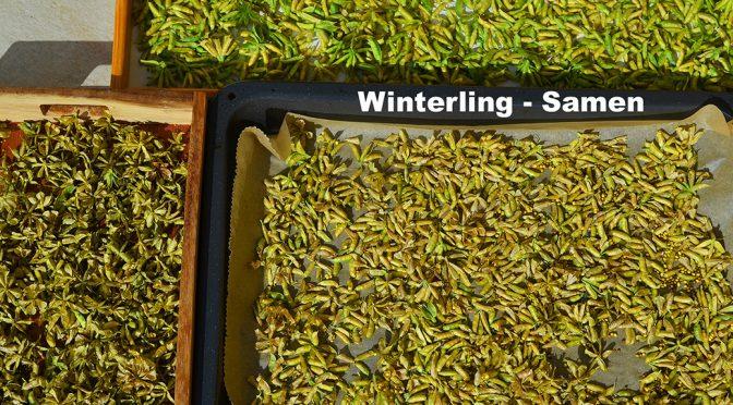 Winterling – Samen wird reif