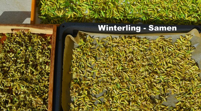 Winterling – Samen ist reif